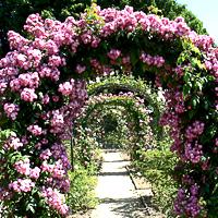 Купить плетистые розы