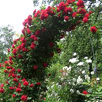 Плетистые розы: лучшие сорта и уход за ними