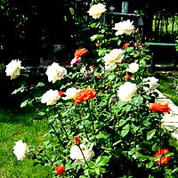 Как ухаживать за розами: от кустовых обыкновенных до Кардана Микс