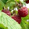 Информация о малине: обобщенный опыт садоводов