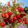 Лучшие сорта для выращивания земляники ремонтантной из семян.