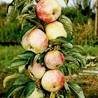 Хорошие сорта яблони: посадка и уход