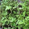 Когда сажать помидоры на рассаду: выбор времени и сорта