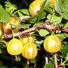 Размножение крыжовника: как размножить куст черенками и отводками.