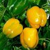 Семена перца сладкого: подготовка к посеву, посадка, лучшие сорта