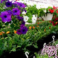 Как правильно осуществлять ампельное выращивание петунии в 21