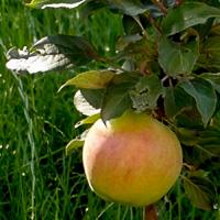 Яблоня колоновидная Медок