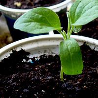 Выращивание рассады огурцов: как правильно вырастить в