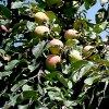 Обрезка колоновидных яблонь: как правильно обрезать колоновидные яблони.