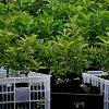 Саженцы колоновидной яблони: где купить и как выбрать здоровые саженцы.