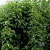 Уход за колоновидными яблонями: что делать, если дерево не плодоносит и не цветет.
