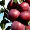 Колоновидная яблоня Президент vs Арбат: сравниваем сорта.