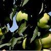 Колоновидная яблоня Валюта vs Медок: особенности каждого сорта.