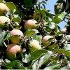 Колоновидная яблоня: сорта популярные и малоизвестные.