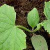 Подготовка семян огурцов к посеву: проращивание, замачивание, всхожесть.