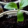Посадка огурцов в стаканчики: когда сеять и как выращивать рассаду.