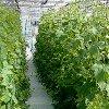 Посадка огурцов в теплице: как сажать и когда высаживать рассаду.