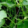 Выращивание огурцов в теплице: как вырастить огурцы и повысить урожайность.