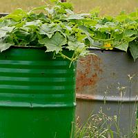 Как посадить огурцы в теплицу