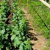 Подвязка огурцов в открытом грунте: как правильно подвязывать растения.