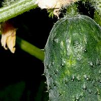 Выращивание огурцов для открытого грунта 59