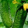 Какие огурцы лучше сажать: стоит посадить самые урожайные и самые вкусные.