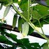 Лучшие семена огурцов для теплиц: выбираем тепличные сорта для закрытого грунта.