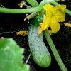 Огурец Герман F1: выращивание и особенности сорта.