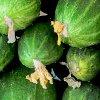 Огурец Зозуля F1: сорт огурцов, его преимущества и выращивание.