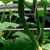 Огурцы Изумрудный поток F1: идеальный ранний сорт для салатов.