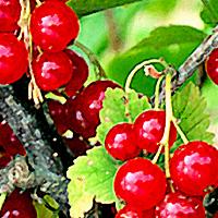 Основные элементы посадки, выращивания и сбора урожая смородины.