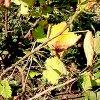 Уход за смородиной осенью: обрезка, посадка, подкормка, обработка.