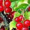 Смородина черная, красная, белая: посадка и уход, обрезка и размножение.