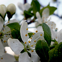 как посадить сливу осенью пошаговое руководство - фото 3
