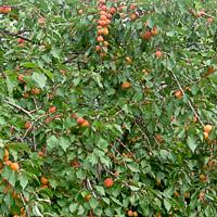 Обрезка и посадка абрикоса осенью как