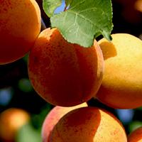 гнилые абрикосы:
