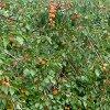 Обрезка и посадка абрикоса осенью: как правильно провести подготовку к зиме.