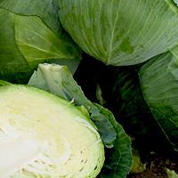 Технология выращивания ранней капусты 6