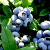 Голубика садовая: посадка и уход, выращивание и размножение.