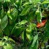 Лучшие сорта перцев для теплиц: семена, посадка и выращивание.