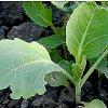 Выращивание рассады капусты: когда сажать разные виды и как ухаживать.