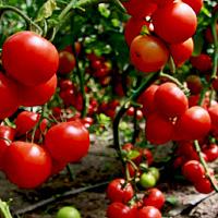 Правильная посадка томатов