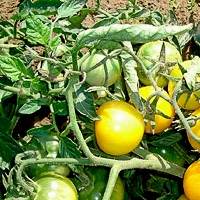 Семена для выращивания томатов 82