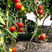 Семена для выращивания томатов 727