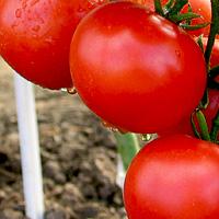 http://sadovod-i-ogorodnik.ru/uploads/posts/2014-03/1396128979_1pomidory.jpg
