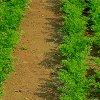 Посадка моркови весной и под зиму: как сажать правильно, сроки посадки и уход.