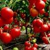 Сорта помидор устойчивых к фитофторе: выбираем томаты без фитофтороза.