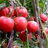 Детерминантный сорт помидор: индетерминантные, супер- и полудетерминантные томаты.