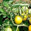 Выращивание помидоров в открытом грунте: сорта томатов, правильная посадка, подкормка и уход.