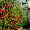 Семена помидоров для теплиц: лучшие сорта томатов, высокоурожайные, ранние и пр.